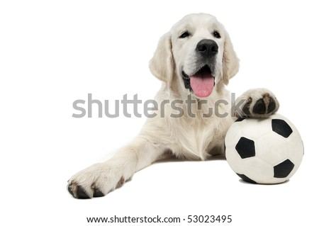 Golden Retriever dog of a yellow ivory creme shade lying with white black football ball