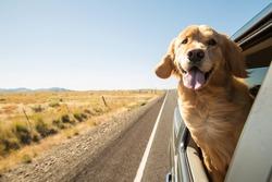 Golden Retriever Dog on a road trip