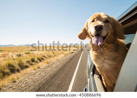Golden Retriever Dog on a road trip #450886696