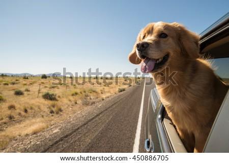 Golden Retriever Dog on a road trip #450886705