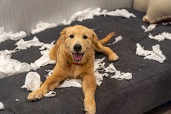 Golden retriever dog playing with toilet paper on messy sofa