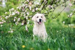 golden retriever dog posing outdoors in spring