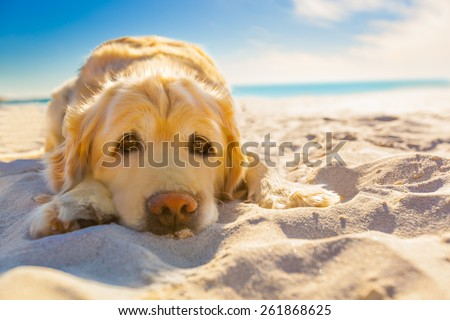 golden retriever dog relaxing, resting,or sleeping at the beach, under the bright sun #261868625