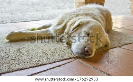 Golden retriever dog resting
