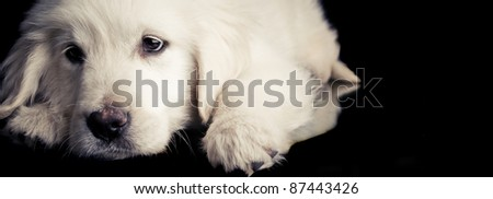 Golden retriever dog resting over black floor - stock photo