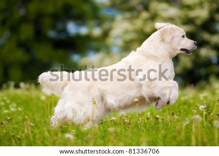 golden retriever dog running, jumping, playing on the grass - stock photo