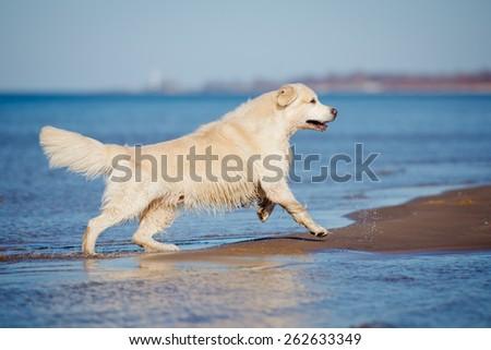 golden retriever dog running on the beach