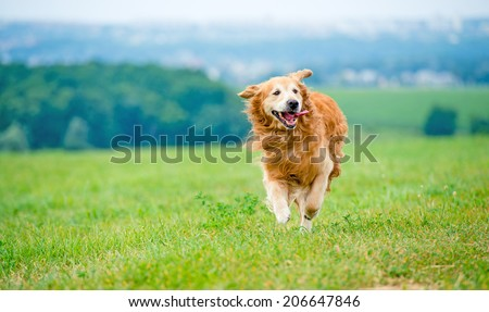 Golden retriever dog running on the field #206647846