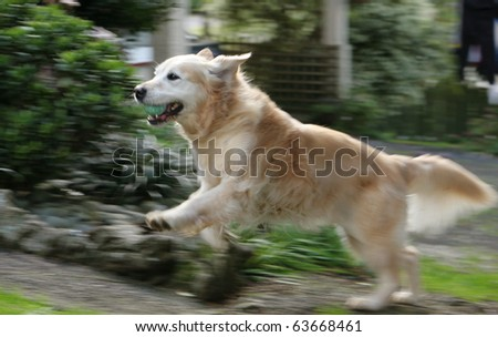 Golden retriever dog running up the path, full of fun and joy
