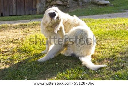 Golden retriever dog scratching #531287866