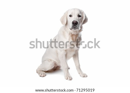 Golden retriever dog sitting, isolated on a white background