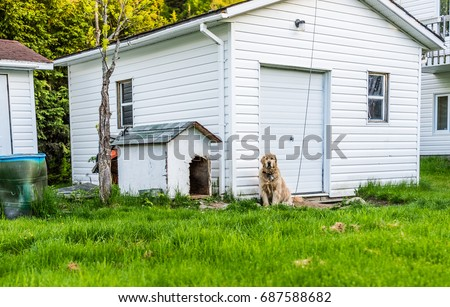 Golden retriever dog sitting outside by doghouse on leash in backyard #687588682