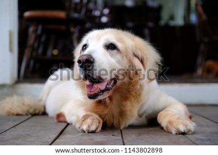 Golden retriever dog smiling, happiness concept. #1143802898