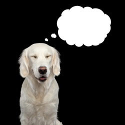 Golden Retriever Dog thinking with closed eyes, in bubble, Isolated on Black Backgrond, front view