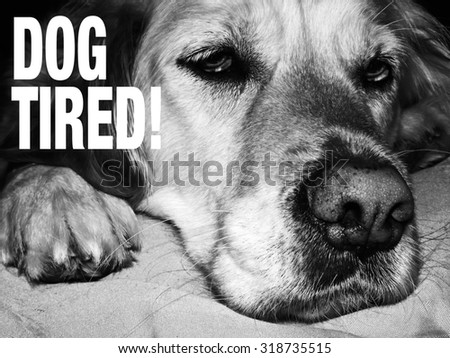 Golden retriever dog tired and resting, dog tired