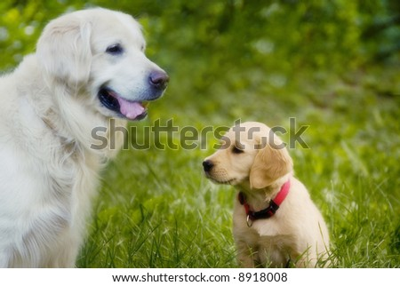 golden retriever dog together with a puppy dog