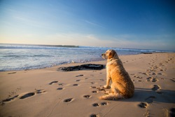Golden retriever dog waiting on the beach Golden retriever waiting for it's owner on the beach while he is surfing