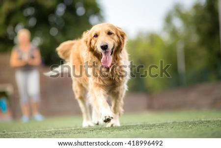 Golden retriever dog walking outdoor  #418996492