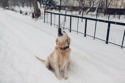 Golden retriever dog walking outdoors on snow after blizzard. Pet sitting on path barking. Animal enjoys winter weather
