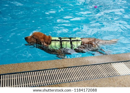 Free Photos Golden Retriever Dog Wear Life Jacket Swim In Swimming