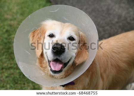 Golden retriever dog wearing an elizabethan collar (also known as a buster collar) worn to stop her chewing at a wound