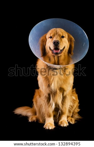 Golden Retriever dog wearing an Elizabethan collar also known as the cone of shame.