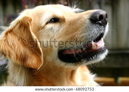 Golden retriever dog with a gentle smile in the late afternoon sun