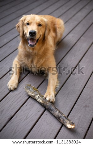 Golden retriever dog with a wood branch stick, laying on a backyard deck #1131383024