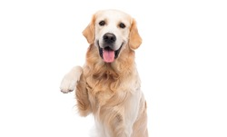 Golden retriever dog with paw up isolated on a white background