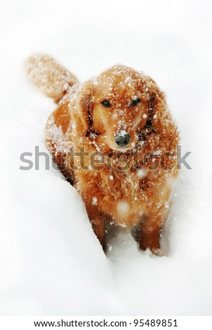 golden retriever dog with snowflakes