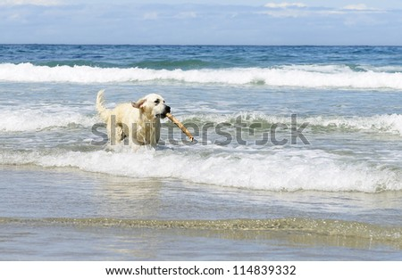 golden retriever dog  with stick in the sea