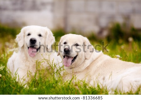 golden retriever dogs lying on the grass with opened mouths
