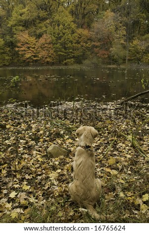 golden retriever enjoying the fall view at the lake