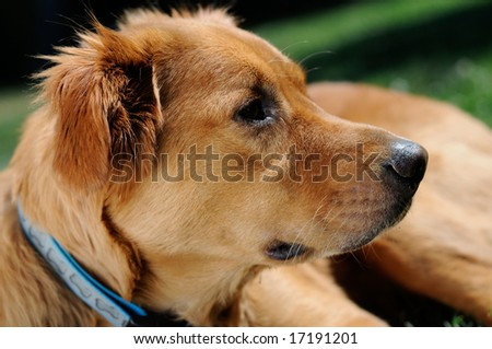 Golden retriever gazing