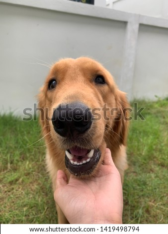 Golden Retriever, Golden Retriever brown, Golden Retriever be smile. #1419498794