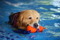 Golden Retriever hold doll in mouth in swimming pool, Dog swimming