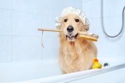Golden retriever in a bathtub holding bath sponge in mouth