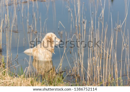 Golden Retriever in a Lake Looking for Birds