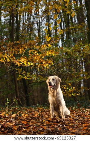 Golden Retriever in Forest with Autumn colors