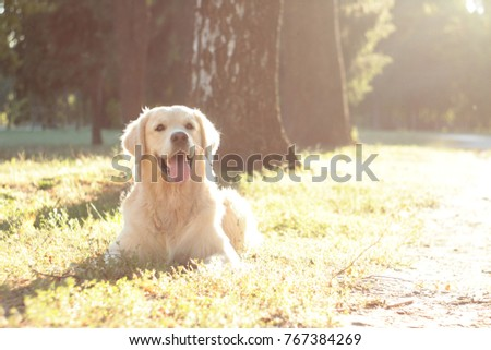 golden retriever in golden light #767384269