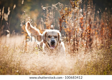 Golden retriever in outdoor settings