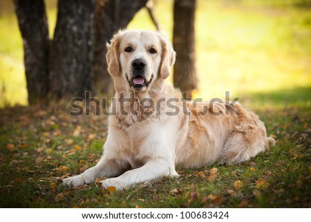 Golden retriever in outdoor settings