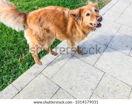 golden retriever in the backyard of a Florida home #1014579031