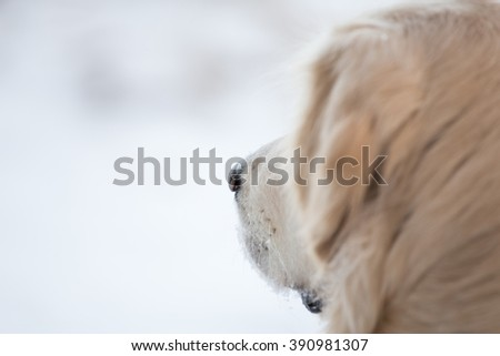 Golden Retriever in the snow #390981307