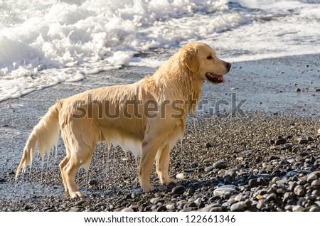Golden Retriever in the waves in the sea in Camogli
