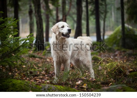 Golden Retriever in the woods, the lake, the dog on the nature #150504239