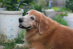 Golden retriever is the popular pet and easy to train