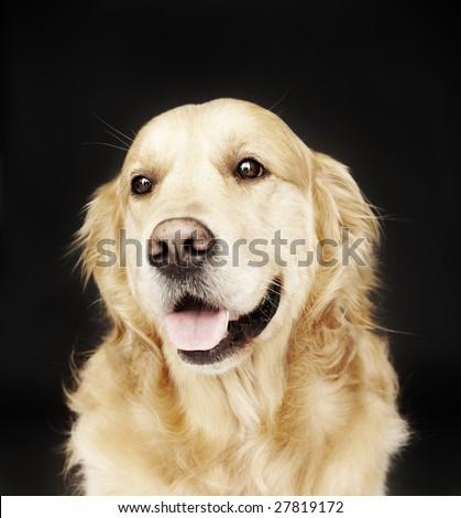 Golden Retriever isolated on black - stock photo