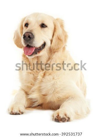 Golden retriever, isolated on white #392531737