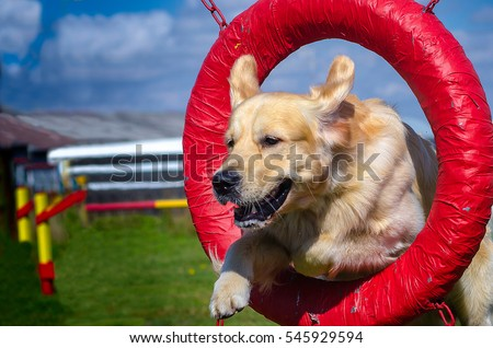 Golden Retriever Jumping Through a Tire #545929594